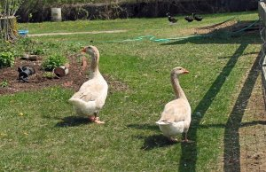 Pros and Cons of Weeder Geese