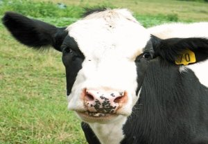 Body Condition Scoring: Dairy Cattle