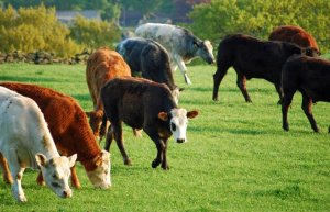 Beef Cattle Frame Scoring