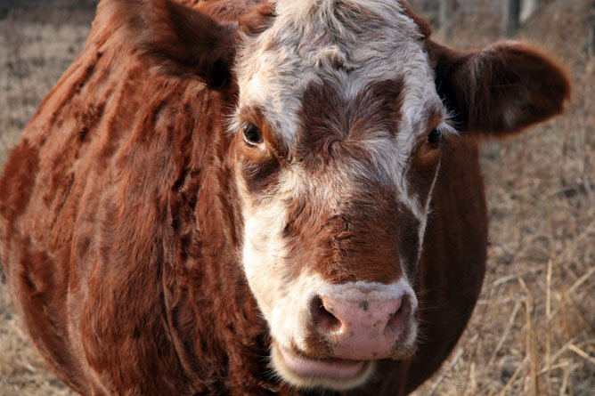 Body Condition Scoring: Beef Cattle
