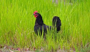 Choosing a Breed of Chicken