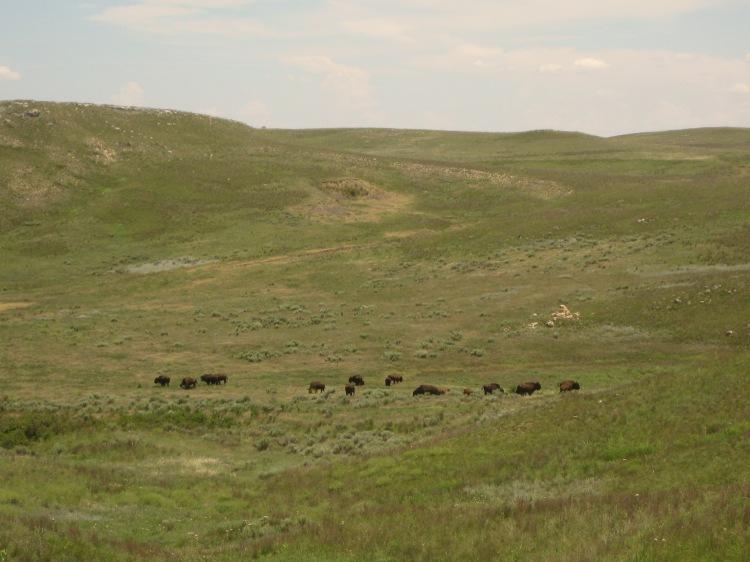Bison at Big Basin