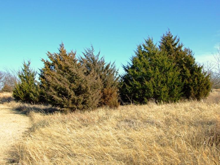 Eastern Red Cedars