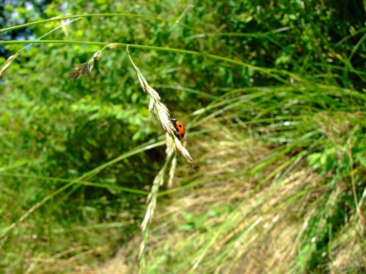 Ladybug on Brome