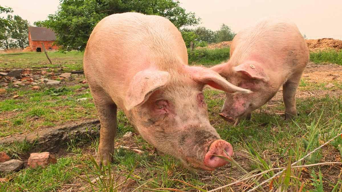 Grazing Management by Species: Swine